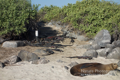 Obstacles in the Road--Marine Iguanas and Sea Lions
