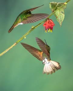 Buff-tailed Coronet