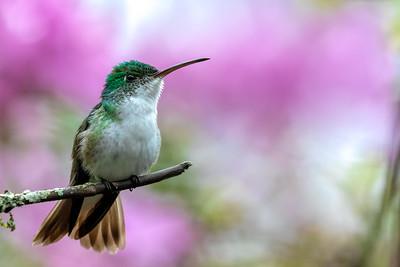 Andean Emerald