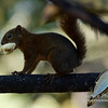 Red-tailed Squirrel gets the Bananas!
