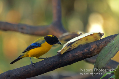 Black-chinned Mountain Tanager