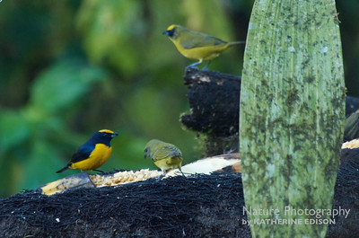 Euphonia and friends