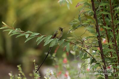 Black-tailed Trainbearer (M) Hummingbird