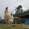Peguche Rooster