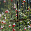 Hummingbird Tail