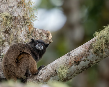 Black-mantled Tamarin
