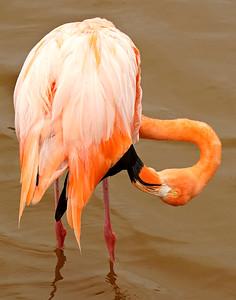 Galapagos  Flamingo, Galapagos Islands