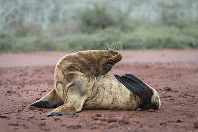 Seal yoga ... Galapagos