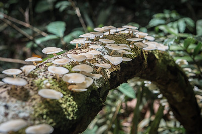 Fungi ... Amazon Basin