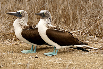 Blue Footed Booby. Male and Female, Isla De La Puerto, Ecuador
