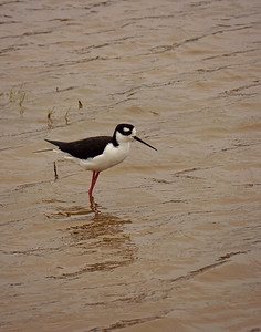 Black Necked Stilt, Galapagos Islands