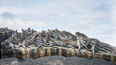 Marine Iguanas, Galapagos Islands