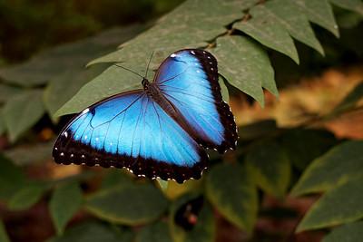 Blue Morpho Butterfly, Mindo Ecuador