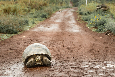Giant Tortoise ... Galapagos