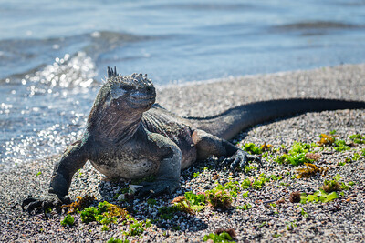 Marine Iguana ... Galapagos