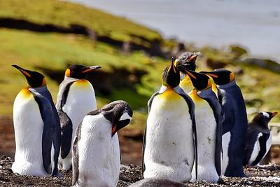 Bluff Cove Penguin Colony