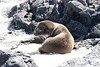 Sea Lion Pup, Chinese Hat Volcano Beach, Galapagos Islands