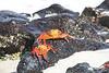 Sally Lightfoot Crab on Chinese Hat Volcano Beach, Galapagos islands