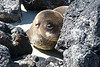 Sea Lion Pup on Chinese Hat Volcano Beach, Galapagos Islands