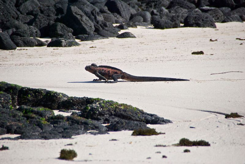 Marine Iguana, Floreana, Galapagos Islands