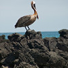 Brown Pelican, Floreana, Galapagos Islands