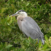 014_Great_Blue_Heron_Santa_Cruz