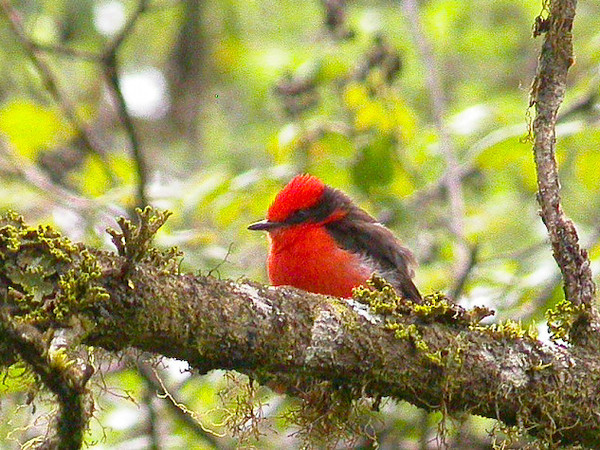 046_Vermillion_Flycatcher