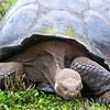 Old Tortoise, Galapagos