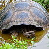 """I'm Taking a Bath,"" said the Tortoise to the Hare, Galapagos"