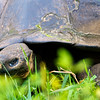 Tortoise Older than the US of A?, Galapagos