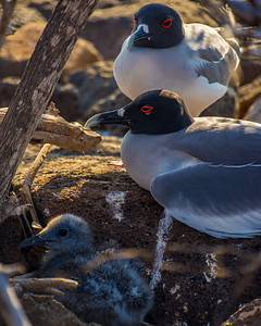 Swallow-tailed gull with a chick
