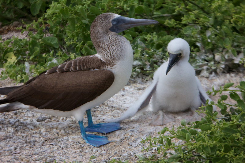 Blue Footed Booby with chick, Galapagos<br /> Copyright 2012, Tom Farmer