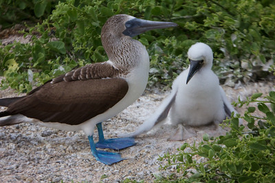Blue Footed Booby with chick, Galapagos Copyright 2012, Tom Farmer