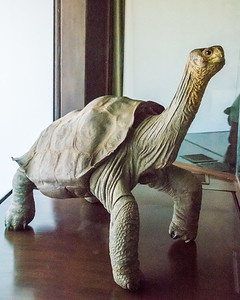Lonesome George, the last of his species.