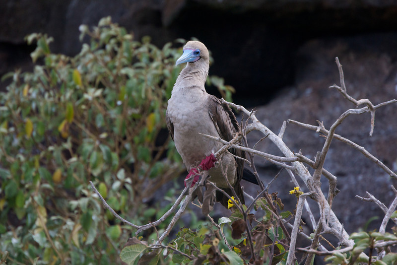 Red Footed Booby, Galapagos<br /> Copyright 2012, Tom Farmer