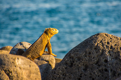 Yellow iguana enjoying the sun