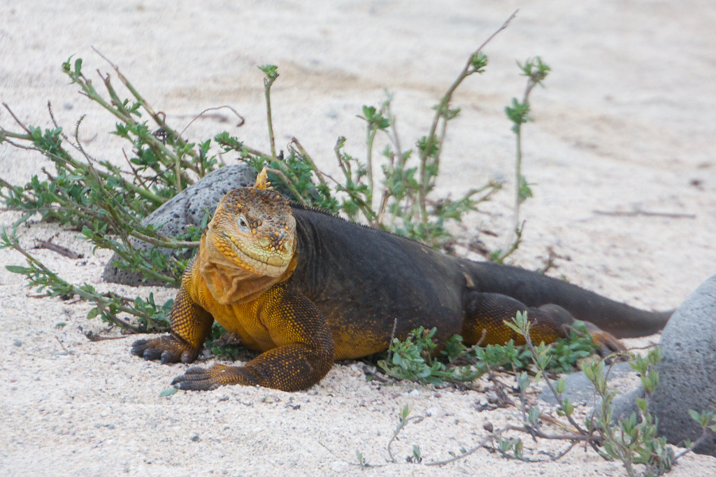 Galapagos Land Iguana<br /> Copyright 2012, Tom Farmer