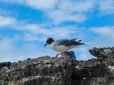 Adult swallow-tailed gull