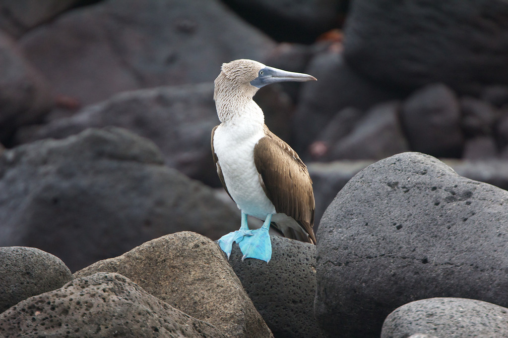Blue Footed Booby, Galapagos<br /> Copyright 2012, Tom Farmer