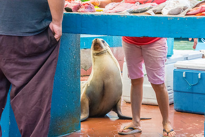 Sea lion at the fish market in Puerto Ayora