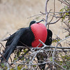 Frigatebird, Galapagos<br /> Copyright 2012, Tom Farmer