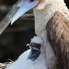 Red Footed Booby with chick, Galapagos<br /> Copyright 2012, Tom Farmer