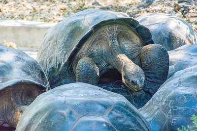 These sexually active male tortoises were a bit confused.