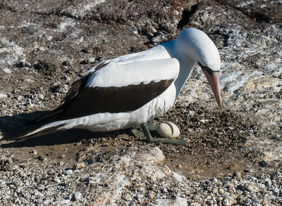 Nazca booby.  The eggs will cook within hours in the sun, so a parent always has to be around to shade it.