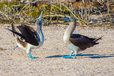 Blue-footed Booby dance-off