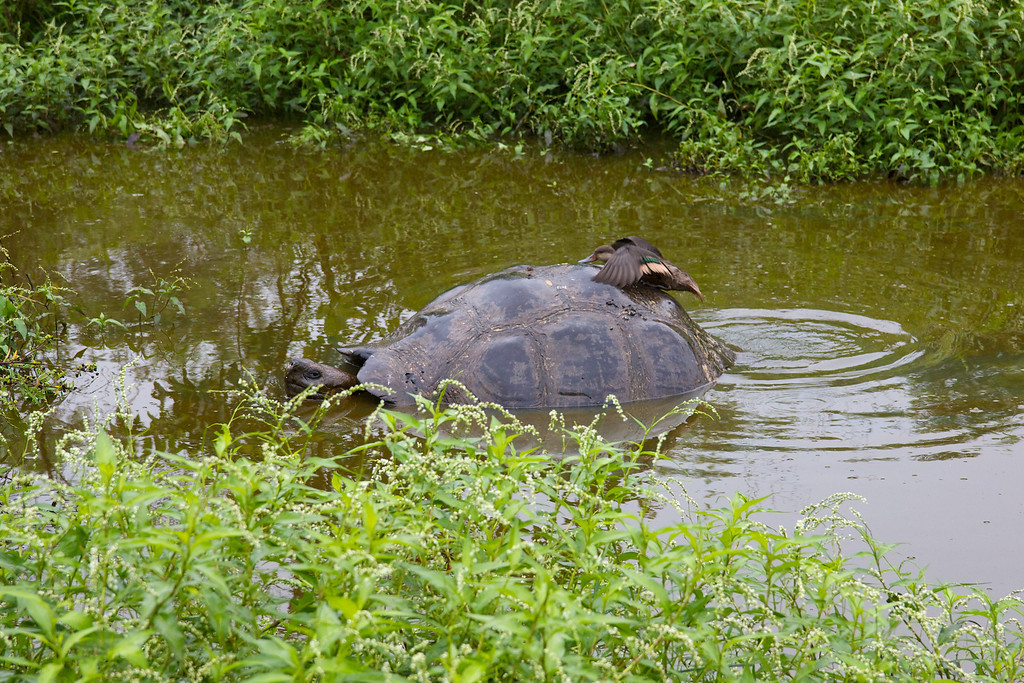 Giant Tortoise with duck<br /> Copyright 2012, Tom Farmer