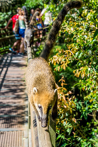 South American Coatimundi, related to raccoons.