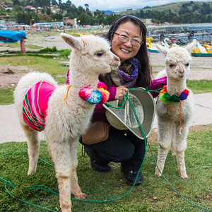 Alpacas near Lake Titicaca