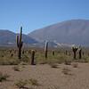 Cardones cactus in the Parque Nacional Los Cardones