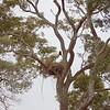 Jabiru stork in his nest